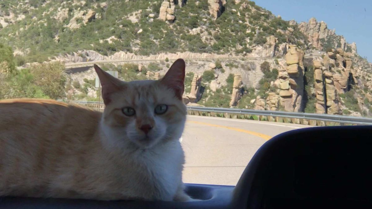cat sitting on the dash of car while going to mount lemmon arizona