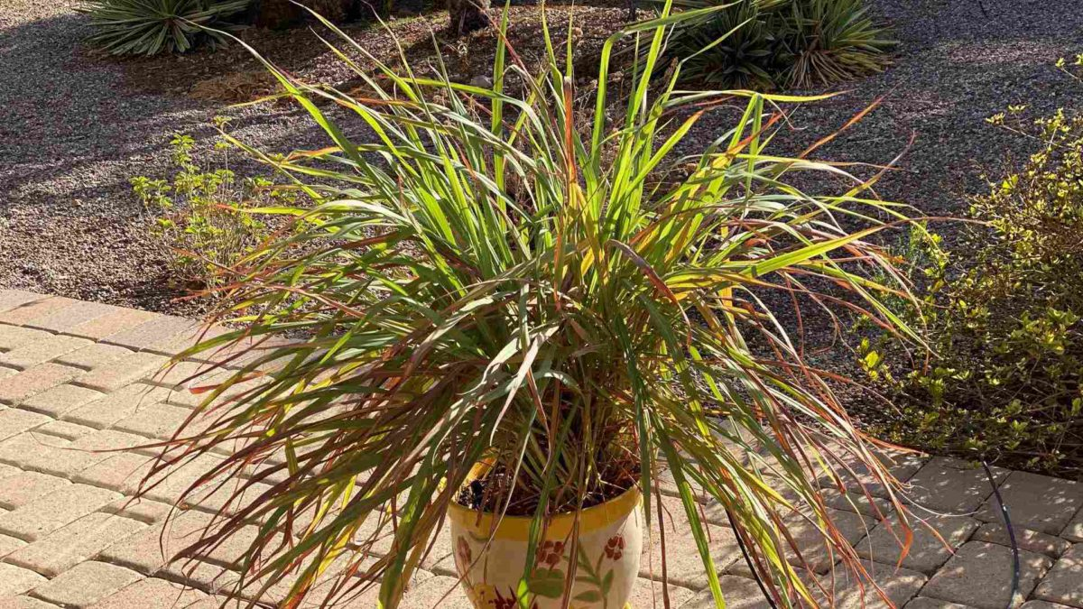lemongrass growing in a pot