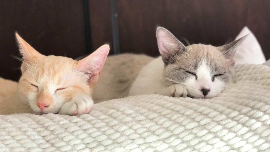 Coated Bambino cats sleeping together on blanket